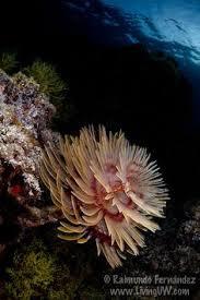 christmas tree worm spirobranchus giganteus fish ocean pinterest