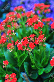 small red flowers potted plant stock photo picture and royalty