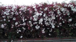 wall of pink jasmine with trixie u0026 edison youtube