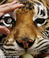 sydney veterinarians battle to save the sight of indira the cross