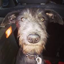 bedlington terrier seattle lula the 8 week old bedlington whippet whiplingtons pinterest