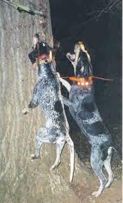 westminster bluetick coonhound 2016 blue tick hound photo bluetick coonhound blue tick coonhound