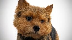 bedlington terrier guide norwich terrier dog breed selector animal planet