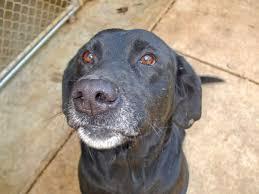boxer dog in heaven boxer mastiff lab mix photo happy dog heaven