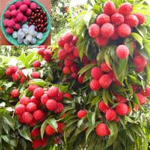 litchi tree reviews online shopping litchi tree reviews on