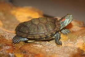 keeping pet aquatic turtles in outdoor ponds