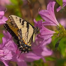 butterflies day butterfly center callaway resort gardens