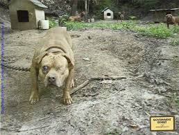 land of giants american pitbull terriers to pull off the biggest pit bull fighting bust in u s history