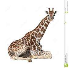 giraffe stock photos images u0026 pictures 24 706 images