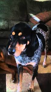 bluetick coonhound vs redbone coonhound black and tan coonhound rottweiler mix howling at siren youtube