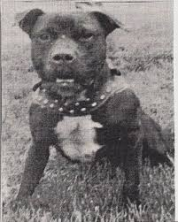 american pitbull terrier game bred bloodlines adams gr ch zebo rom game dog history for the true game dog