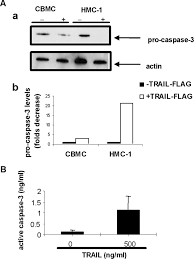human mast cells undergo trail induced apoptosis the journal of