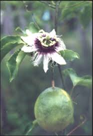Rainforest Passion Flower - images from the amazon rainforest in suriname