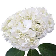 white hydrangeas globalrose 20 fresh cut white hydrangeas fresh