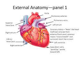 Heart Anatomy Arteries Heart Anatomy By Heidi Hisrich Ppt Download