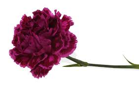 purple carnations meanings of carnation flowers of different colors just fascinating