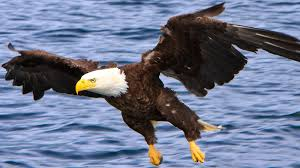 strange eagle wallpapers bald eagle