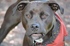 american pitbull terrier rottweiler mix different colored rottweilers animall