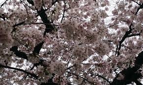 2015 uw cherry tree watch full bloom by march 14 uw news