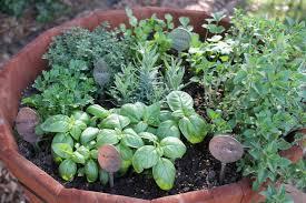 carolina charm thyme for herbs iii