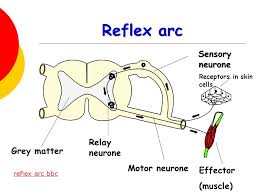 Motor Reflex Arc Nervous System By The End Of The Lesson You Should Be Able To