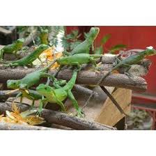 imágenes de iguanas verdes iguanas verdes en venta en mercado libre méxico