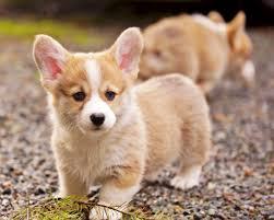 pembroke welsh corgi puppies play at black gravel adogbreeds com