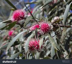 Pin Cushion Tree Unusual Spiky Pink Blooms Pincushion Hakea Stock Photo 440108956
