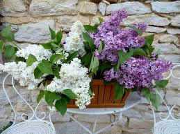 Very Fragrant Plants - how to make a small fragrant garden fragrant plants for containers