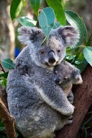 304 best koalas images on pinterest koala bears animals and
