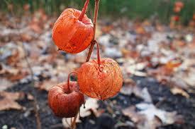 japanese lantern plant ground cherry japanese lantern free photo on pixabay