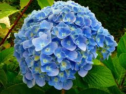 flower hydrangea nikko blue hydrangea macrophylla bigleaf a top