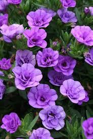 94 best purple flowers purple plants images on pinterest