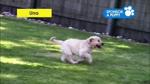 Sponsor A Puppy For The Blind Our Newest Sponsor A Puppy Trainee Una Youtube