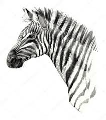 drawing detailed zebra head isolated on white background u2014 stock