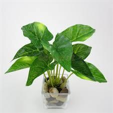 compare prices on taro plant online shopping buy low price taro