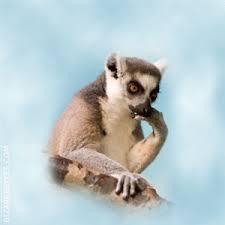 Lemur Meme - meme search kendrick lemur meme generator