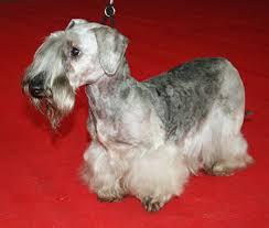 bedlington terrier guide cesky terrier wikipedia