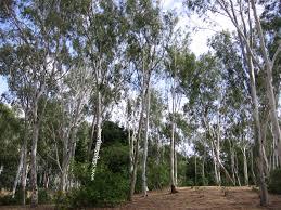 Eucalyptus Trees Silver Dollar Eucalyptus Leaves Pr Energy