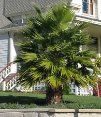 mexican fan palm growth rate mexican fan palm drought tolerant trees san diego