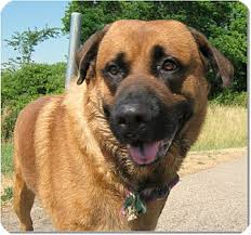 belgian shepherd x rottweiler beethoven adopted dog howell mi st bernard german shepherd