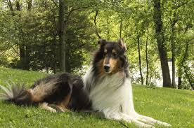 afghan hound collie mix crazy for collies then you u0027ll go wild over this american kennel
