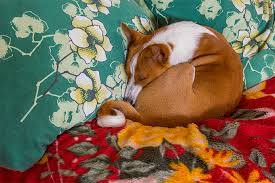 asian dog ring holder images Basenji dog breed information pictures characteristics facts jpg