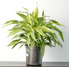 indoor plants india want to clear your air bring these 15 indian house plants right in