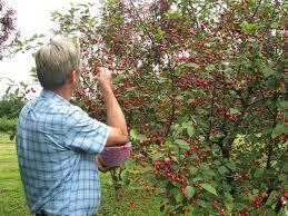 Cherry Tree Fruit - dwarf stark surecrop pie cherry with a bumper crop starkbros