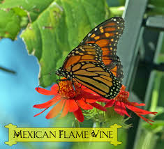 native plants of mexico mexican flame vine climbing vine for monarch butterflies