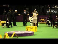 affenpinscher westminster 2015 best in show 2013 westminster dog show banana joe