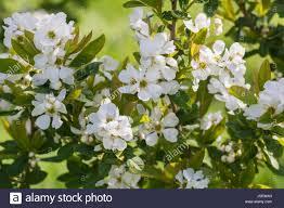 exochorda serratifolia snow white stock photos exochorda