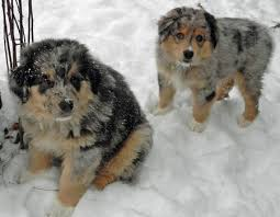 australian shepherd vocal puppies cute puppy names pictures of puppies u0026 more daily puppy