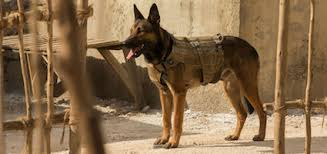 belgian malinois 101 youtube experts fear u0027max u0027 will cause a surge in the popularity of belgian